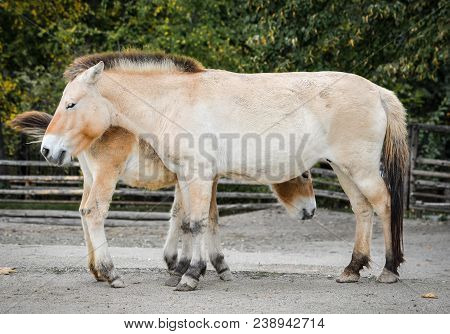 Two Funny Przewalski Horses Or Dzungarian Horses At Zoo. Przewalski Horse Is A Rare And Endangered S