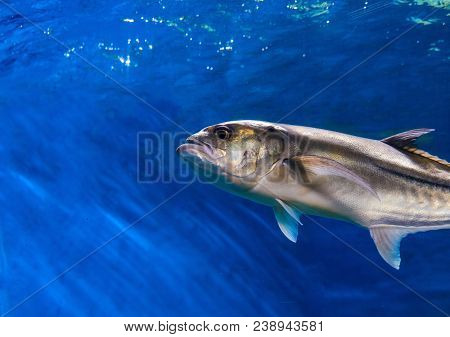 Oceanic Fish In Blue Water. Ocean Aquarium With Saltwater Fish. Silver Fish Closeup Photo. Blue Sea