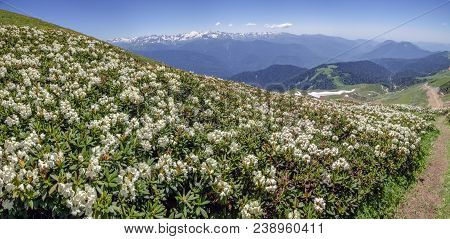 End Of June, Early July - The Time Of Flowering Rhododendron. At This Time In The Mountains Of Krasn