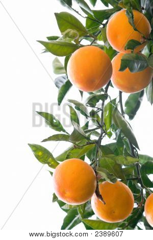 Oranges On A Branch Isolated On White