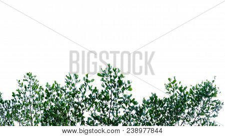 Waterplants With Leaf Branch At Botanical Garden On White Isolated Background For Green Foliage Back