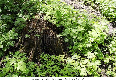 Old, Mossy Tree Stump In Green, Sunlit Forrest Floor. Large Tree Stump In Summer Forest