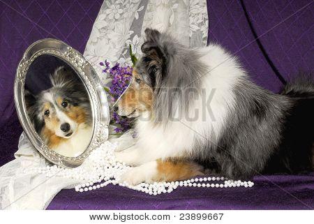 Sheltie Dog Looking In A Mirror