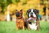 german tiger boxer dog and petit brabancon griffon lying on green grass at autumn background poster