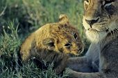 Lioness with her cub.Photographed in Kenya Africa poster