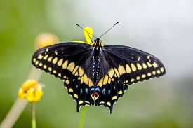 Eastern Tiger Swallowtail, Papilio Glaucus Is A Species Of Swallowtail Butterfly Native To Eastern N