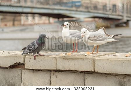 Seagulls And Dove On The Parapet Of The City Promenade In The Autumn Morning.  Landscape.  Outside.