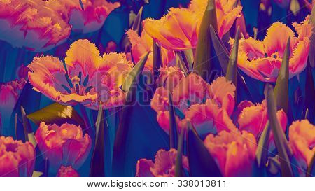Many Bright Orange Red Tulip Flower Gusto Cultivar With Flowers And Green Leaf Background In Tulip F