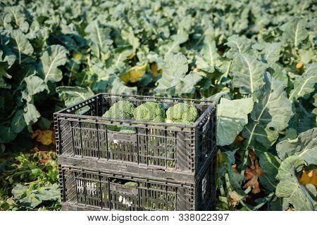 Fresh Broccoli Growing In The Organic Garden. Broccoli Field