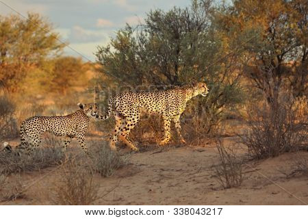 The Cheetah (acinonyx Jubatus) Feline With Her Cub Walking Across The Sand In Kalahari Desert In The