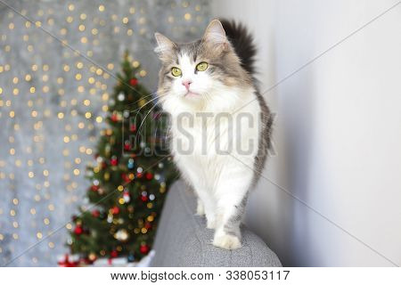 Beautiful Grey And White Longhair Cat Over The Christmas Tree With Blurry Festive Decor. Portrait Of