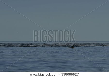 Killer Whale (orcinus Orca) Hunting Elephant Seals Off The Coast Of Sea Lion Island In The Falkland