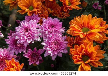 Pink Flower. Flower In Garden At Sunny Summer Or Spring Day. Flower For Postcard Beauty Decoration A