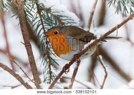 European Robin - Erithacus Rubecula Sitting, Perching In Snowy Winter, Spruce With The Snow In The B