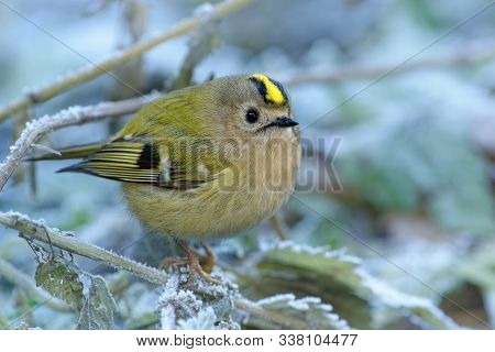 Goldcrest - Regulus Regulus Sitting On The Branch In Cold Winter Snowy Time. Very Small Passerine Bi
