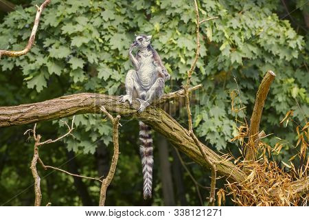 Ring Tailed Lemur, Lemur Catta, A Strepsirrhine Primate With An Extremely Long, Heavily Furred Tail,