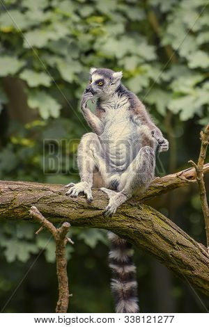 Ring Tailed Lemur, A Strepsirrhini Primate With An Extremely Long, Heavily Furred Tail, Covered With