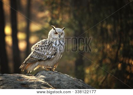 Eurasian Eagle-owl (bubo Bubo) Is One Of The Largest Species Of Owl