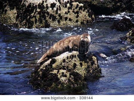 Harbor Seal On The Rocks