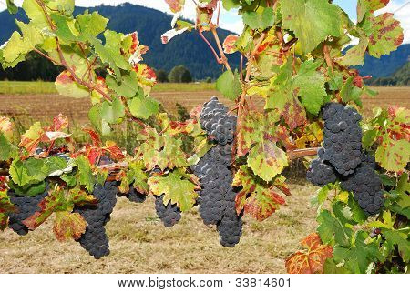 Umpqua Grapes