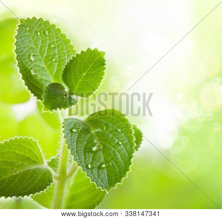 Fresh mint leaves with a drop of water on the surface. Growing plant. Leaf texture in nature. Green garden. Macro photography.