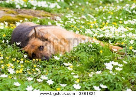 poster of Germany sheep-dog laying in garden with white spring flowers