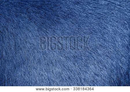Blue Animal Fur Background. Blue Fur Texture Close Up. Cowhide Close Up. Real Genuine Natural Fur, F