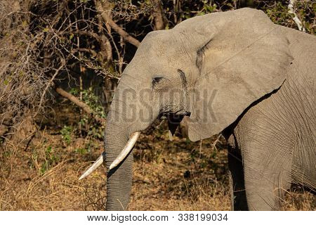 Profile View Of Elephant Head With Tusk