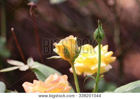 Fresh Yellow Roses In Green Sunny Garden.open, Incredibly Beautiful Yellow Rose In The Garden