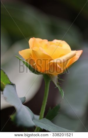 Beautiful Bush Of Yellow Roses In A Spring Garden. Rose Garden.yellow Roses Meaning Bright, Cheerful