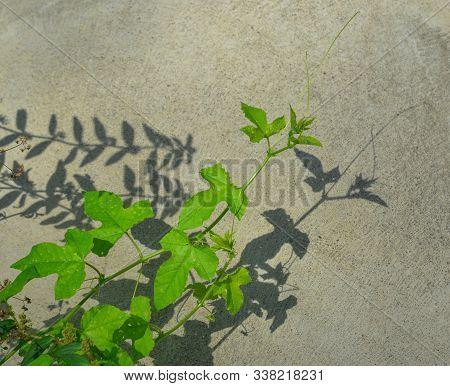 Fresh Green Passiflora Foetida (nhan Long In Vietnamese) Leaf At Nature Garden In Summer Day.