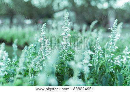 Soft Focus Of White Salvia Sage Flower Bloom In Garden.
