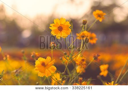 Sunset With Yellow Flowers Blooming In The Garden.