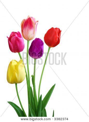 Tulip 5 Color