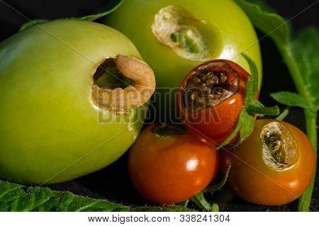 The Vegetable Vermin Lacanobia Mamerta Destroys Tomatoes