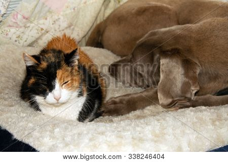 Old calico cat and an old Weimaraner dog sharing a dog bed, sleeping side by side