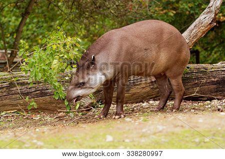 South American Tapir - Tapirus Terrestris  Also Called Brazilian Tapir, Amazonian Tapir, Maned Tapir