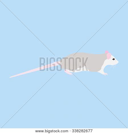 Pet Rat. Cute Rat. Cute Pet. Decorative Rat. Domestic Rat.