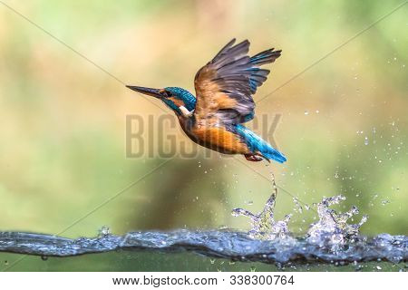 Common European Kingfisher (alcedo Atthis).  River Kingfisher Diving And Emerging From Water And Fly