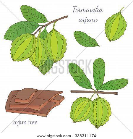 Medicinal Herbs Collection. Vector Hand Drawn Illustration Of A Medicinal Plant Terminalia Arjuna On