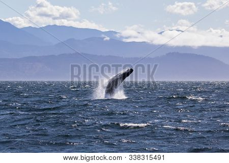 Humpback Whale Breaching Off The Coast Of Victoria British Columbia. (near The San Juan Islands In T