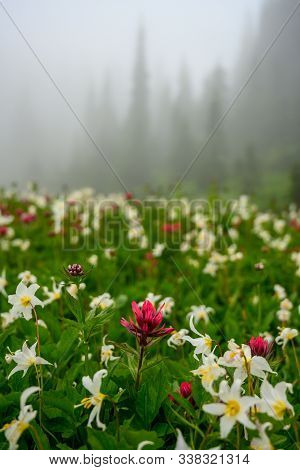 Avalanche Lilies And Scarlet Paintbrush Wildflowers With Foggy Sky