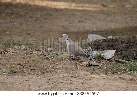 The Mourning Dove Is A Member Of The Dove Family, Columbidae. Beautiful Dove On The Ground, Dove Wal