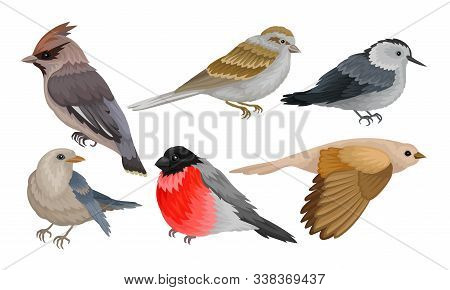 Wild Birds Collection, Titmouse, Bullfinch, Waxwing, Chiffchaff, Sparrow Vector Illustration