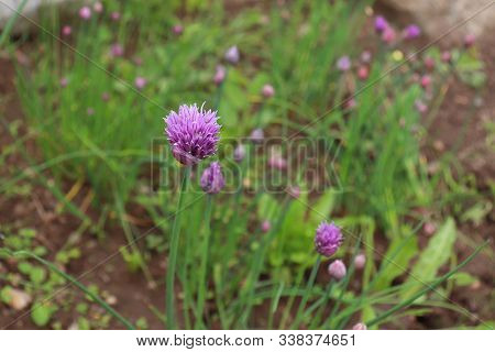 Fresh Purple Chives Flower , Or Wild Chives, Flowering Onion, Garlic Chives, Chinese Chives, Schnitt