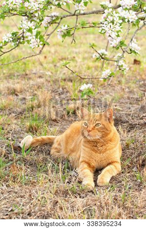 Ginger tabby cat under a blooming apple tree in spring, looking up to the flowers