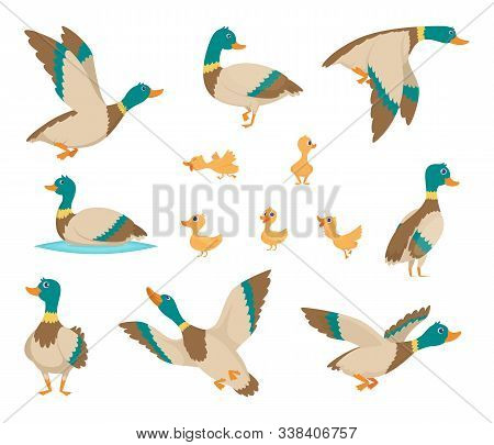 Wild Birds. Funny Ducks Flying And Swimming In Water Brown Wings Vector Birds Cartoon Style. Duck Bi