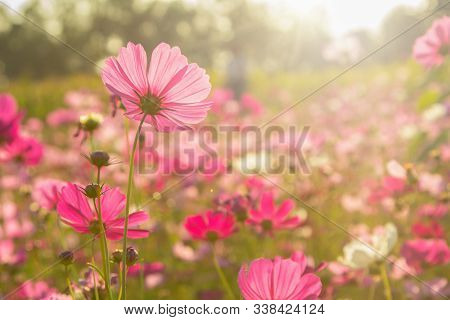 Beautiful Pink And White Cosmos Flowers Or Daisy Under Sunlight In Garden With Blue Sky Background I