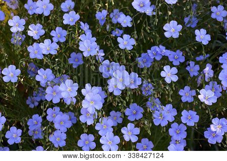 Blue Flowers Of Decorative Linum Austriacum And Its Runaways On A Dark Background.