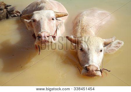Close Up Albino Water Buffalo Soak In A Swamp.albino Buffalo (pink Buffalo) Hides In Water From A He
